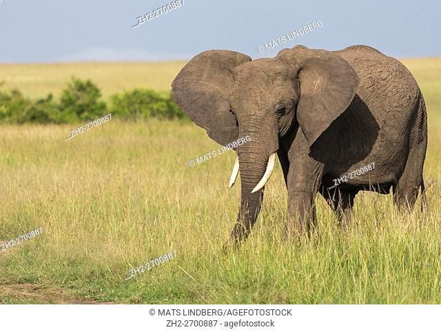 Elephant on the savanna in high grass looking in to the camera, Masai Mara, Kenya, Africa