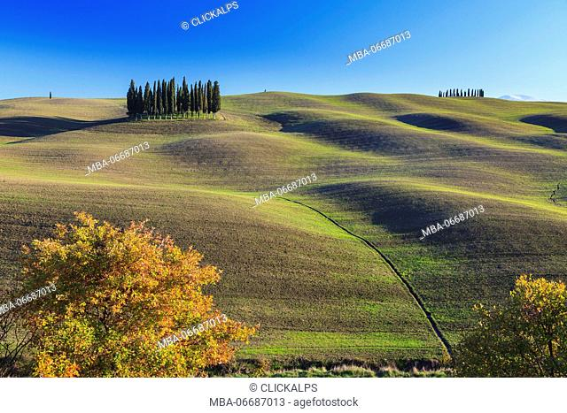 Cypresses in San Quirico d' Orcia, Orcia Valley, Siena Province, Tuscany, Italy, Europe