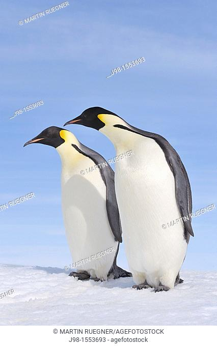 Emperor Penguin Aptenodytes forsteri two adults  Snow Hill Island, Antarctic Peninsula, Antarctica