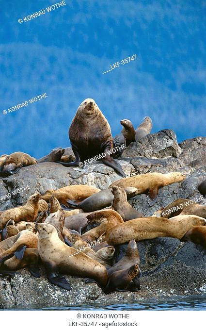 Steller Sea Lions resting on Rocks, Eumetopias jubatus, Alaska, USA