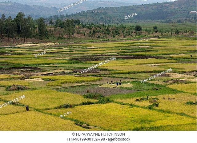 Rice Oryza sativa crop, paddyfields at valley bottom, Rwanda