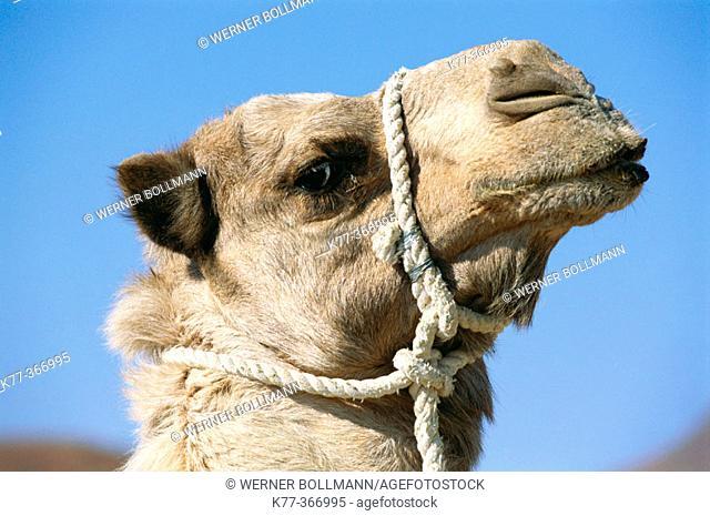 Dromedary (Camelus dromedarius) in captivity. Palmwag. Namibia