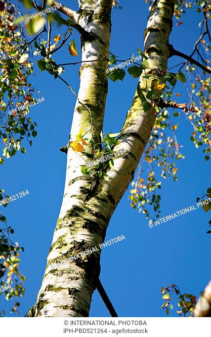 England Hampshire New Forest Lyndhurst Picturesque Silver Birch tree nr the Visitor Centre Peter Baker