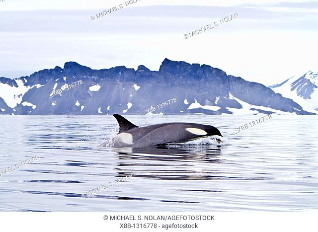 A small pod of about 25 'Type B' killer whales Orcinus orca at 678 30 3S 678 58 4W south of the Antarctic Circle near the Antarctic Peninsula, Antarctica