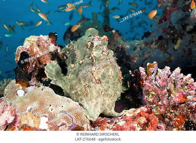 Green Giant Frogfish, Antennarius commersonii, Maldives, North Ari Atoll