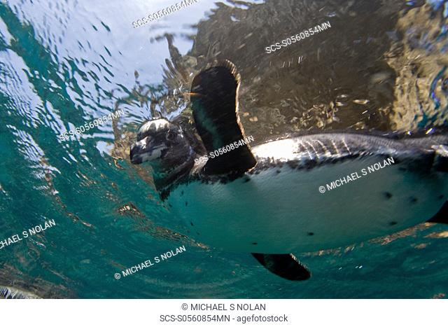 Adult Galapagos penguin Spheniscus mendiculus hunting fish underwater in the Galapagos Island Group, Ecuador This is the only species of penguin in the northern...