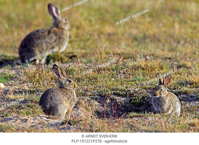 European rabbits / common rabbit (Oryctolagus cuniculus) group with two juveniles sitting in front of burrow / warren entrance in meadow