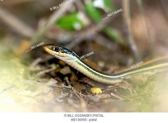 Gulf Coast Ribbon Snake (Thamnophis proximus orarius) - Camp Lula Sams, Brownsville, Texas, USA