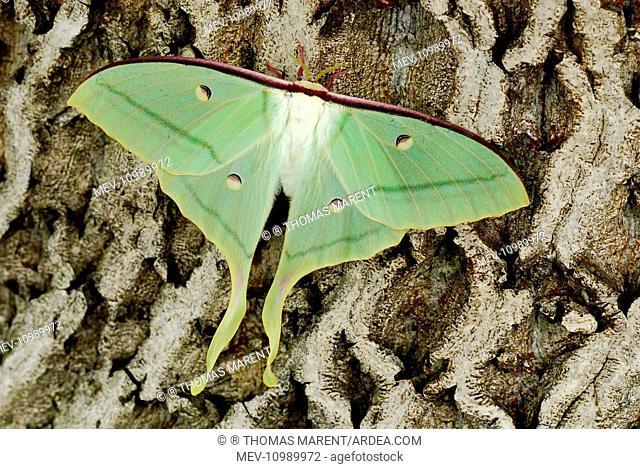 Indian Moon Moth Indian Luna Moth on walnut tree India