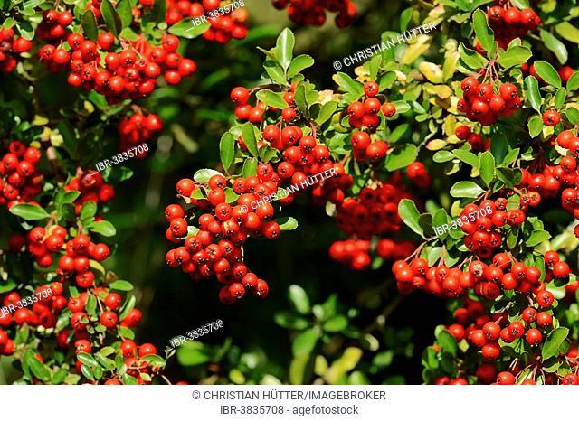 Firethorn (Pyracantha sp.) with berries, North Rhine-Westphalia, Germany