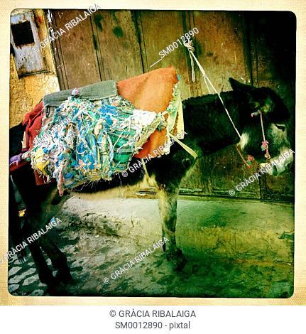 workhorse, donkey ready and waiting on the street, Fez Medina, Morocco, Africa