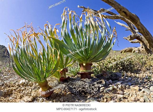 Geophyte plant in succulent karoo habitat, Richtersveld, Northern Cape, South Africa