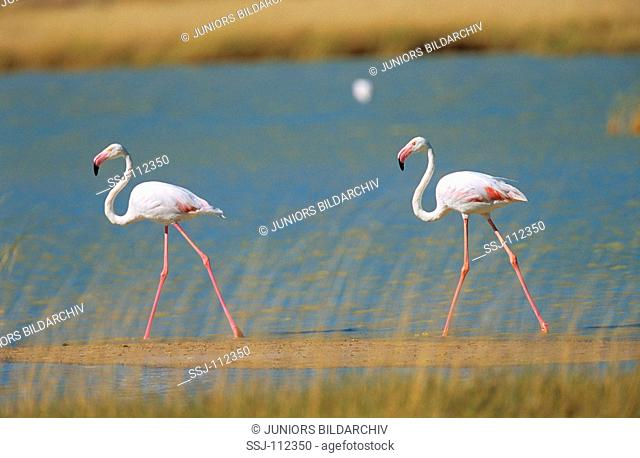 two greater flamingos - at the water / Phoenicopterus ruber