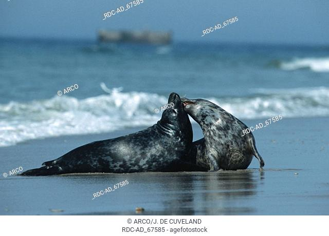 Grey Seals Helgoland Schleswig-Holstein Germany Halichoerus grypus