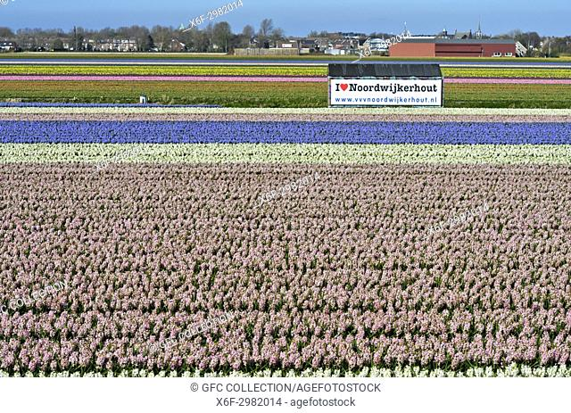 Filed of blossoming hyacinths and a poster with the words I love Noordwijkerhout, Noordwijkerhout, Netherlands