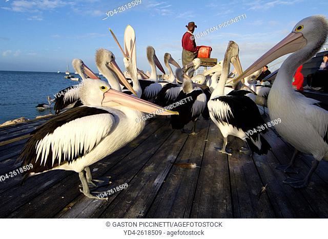 Australian Pelican (Pelecanus conspicillatus), Kingscote, Kangarro Island, South Australia, Australia