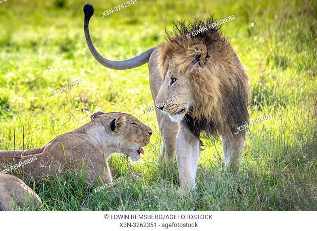 Two lions, (Panthera leo) in Maasai Mara National Park, Kenya, Africa