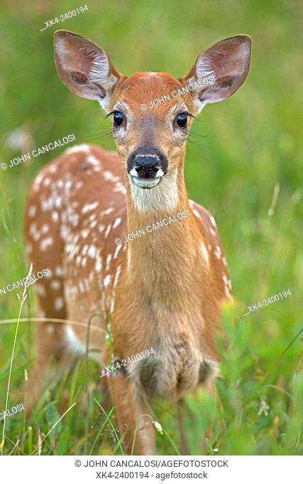 White-tailed deer, fawn, Virginia, USA