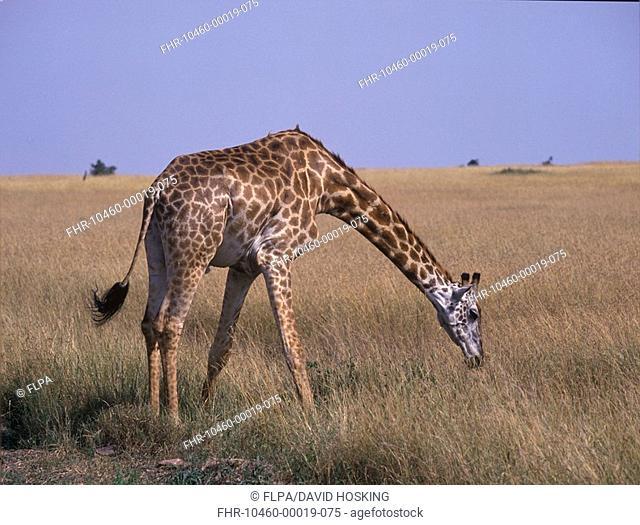 Masai Giraffe Giraffa camelopardalis Masai Mara, Kenya S