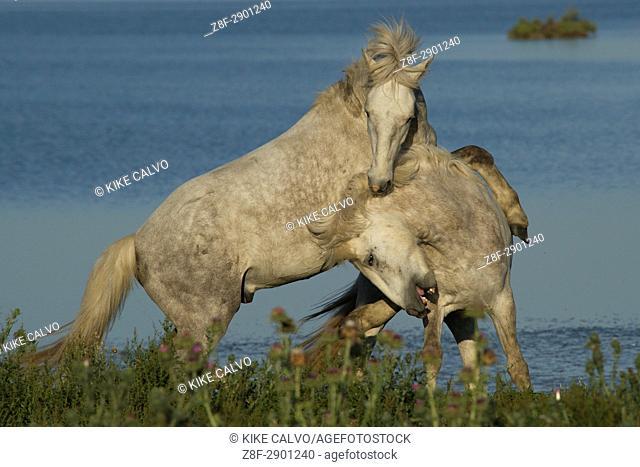 Camargue horses sparring