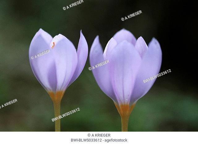 merendera Merendera attica, flowers, Greece, Makkedonien, Kerkini