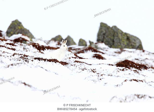 blue hare, mountain hare, white hare, Eurasian Arctic hare Lepus timidus, sitting in snow well camouflaged, United Kingdom, Scotland, Cairngorms National Park