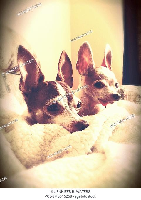Two short hair adult chihuahuas sitting in a blanket indoors. Soft vignette