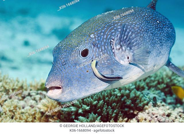 Star puffer Arothron stellatus with Bluestreak cleaner wrasse  Andaman Sea, Thailand