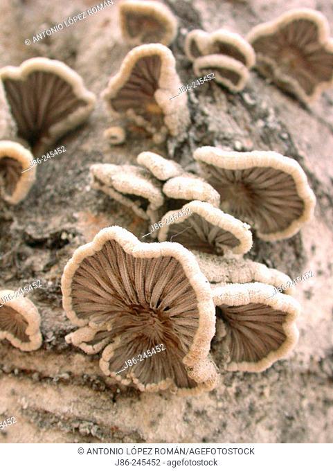 Fungi on Poplar tree trunk