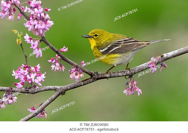 Pine Warbler, Setophaga pinus, Houston, Texas, USA