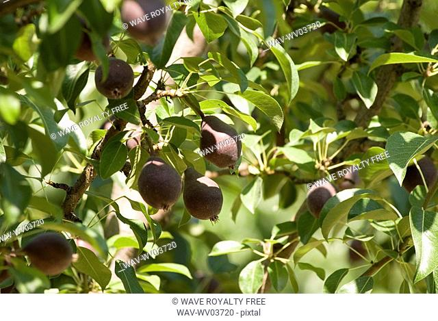 Red pears in orchard, Okanagan Centre, BC Canada