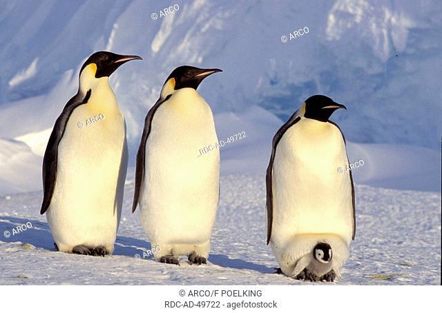 Emperor Penguins Dawson-Lambton Glacier Antartica Aptenodytes forsteri