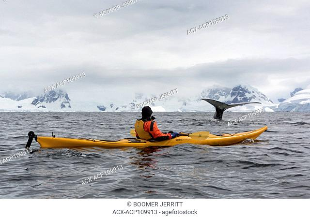 Kayakers encounter feeding Humpback Whales in Wilhelmina Bay, Antarctic Peninsula