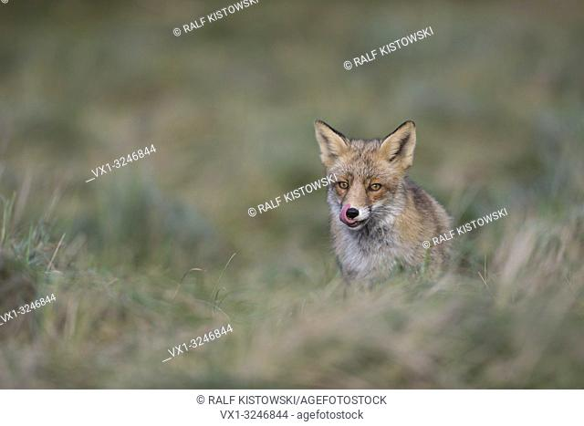 Red Fox / Rotfuchs ( Vulpes vulpes ) with wonderful bright eyes coming up a little hill, licking its tongue