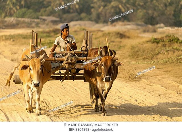 Boy travelling on an oxcart, Ngapali Beach, Thandwe, Myanmar