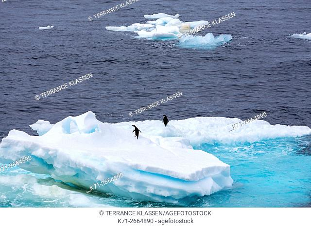 Gentoo Penguins on ice flows in the waters of the Antarctic Peninsula