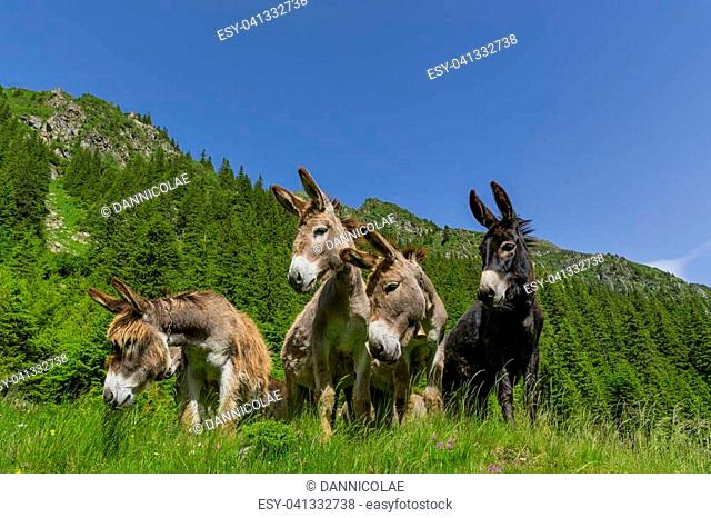 Four curious funny donkeys looking in the same direction in the mountains