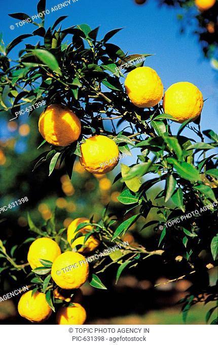 Orange Hanging On The Tree,Korea