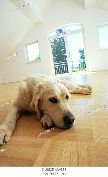 View of a golden retriever resting on the floor of an empty room
