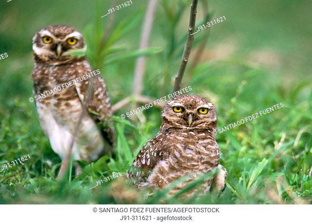 Burrowing Owls (Speotyto cunicularia). Uruguay