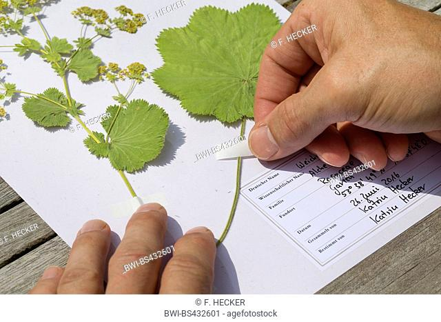 lady's mantle (Alchemilla mollis), pressed plants are sticked on a herbarium sheet, Germany