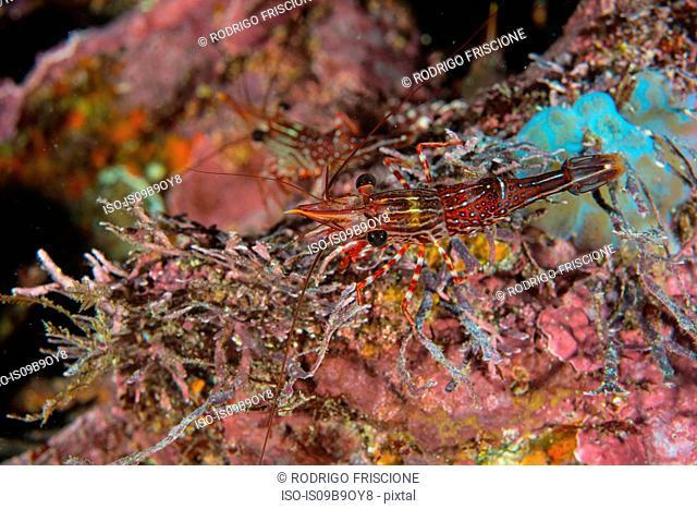 Striped shrimp by coral, Seymour, Galapagos, Ecuador, South America
