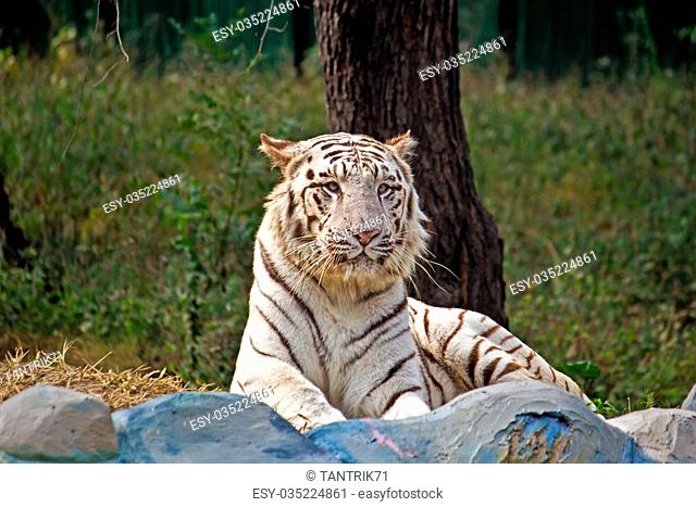 White bengal tiger in New Delhi zoo