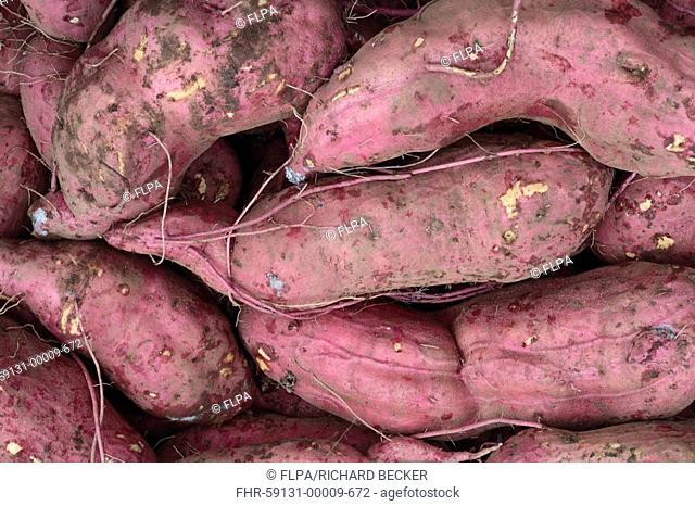 Sweet Potato Ipomoea batatas harvested tubers, on organic smallholding, Powys, Wales