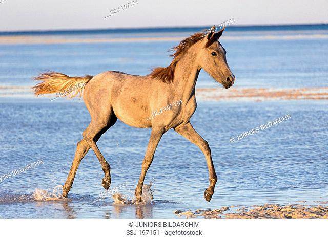Arabian Horse. Strawberry roan foal trotting in shallow water on a beach. Egypt
