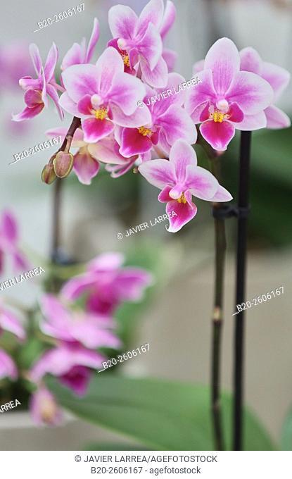 Orchid. Garden center. Hondarribia. Gipuzkoa. Basque Country. Spain