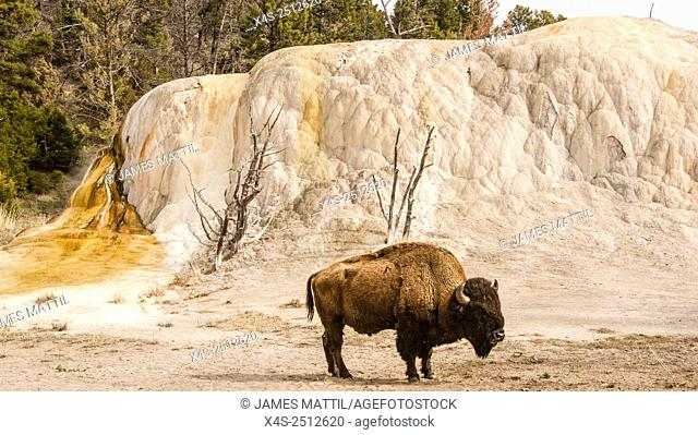 A large bull bison stands beside colorful Orange Spring Mound geyser at Mammoth Hot Springs in Yellowstone Park