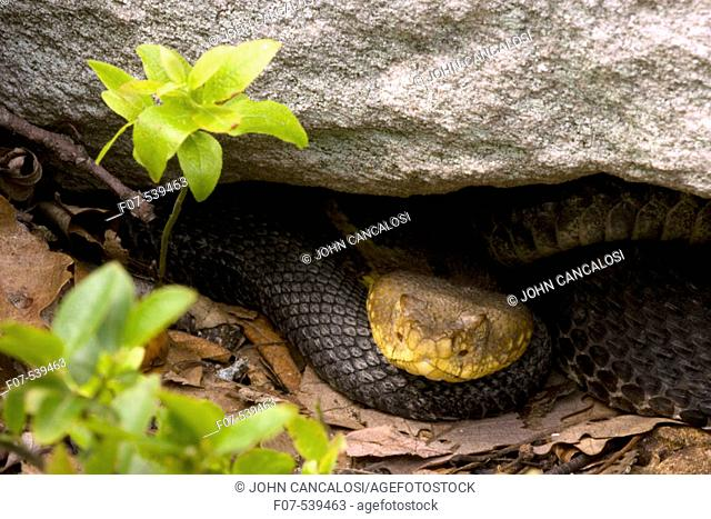 Timber Rattlesnakes, Crotalus horridus, northeastern United States.  Venomous pitvipers, widely distributed throughout eastern United States