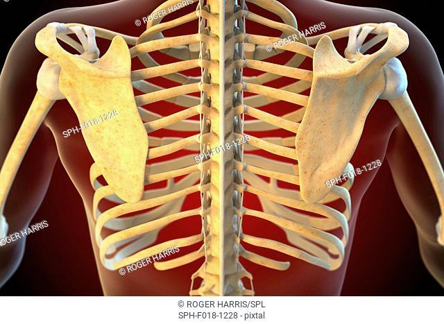 Ligaments of the human shoulder, illustration