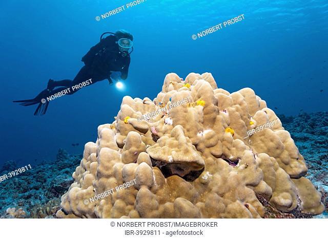 Scuba diver looking at a coral block with Christmas Tree Worms (Spirobranchus giganteus), Bora Bora, Leeward Islands, Society Islands, French Polynesia, France